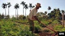 Un campesino limpia un sembrado con un azadón, en el municipio habanero de Bejucal (Cuba).