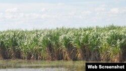 Plantaciones de caña de azúcar inundadas por las lluvias en la provincia Las Tunas