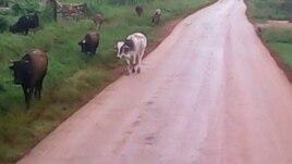 El ganado suelto en las carreteras pueden provocar accidentes Reporta Cuba Foto Misael Aguilar