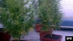 MARIHUANA Fotografía donde se ven varias plantas de marihuana en una casa.