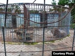 Los dos famélicos leones del Zoológico de Caibarién.