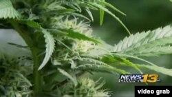 Plantas de marihuana que se cultivaban en Colorado para traficar la droga a lugares donde es ilegal.