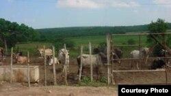 Robo y el sacrificio ilegal de reses en santiago de Cuba