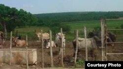 Campesinos obligados a vender ganado al gobierno