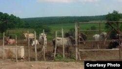 """Las garrapatas, que afectan al ganado en los campos cubanos, se reproducen """"por millones"""", asegura un campesino a Radio Martí."""