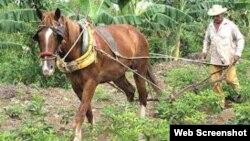 Campesino cooperativista Niquero, Cuba