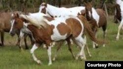 Caballos entrenados