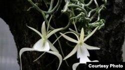 La orquídea fantasma, una de las flores más raras del mundo.