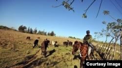 Campesino cuidando su ganado en el poblado de Mariel, en la provincia de Artemisa, Cuba.