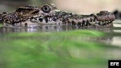 Un ejemplar de cocodrilo cubano. Archivo.