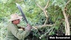 El marabú cubre miles de hectáreas de tierras agrícolas en Las Tunas.