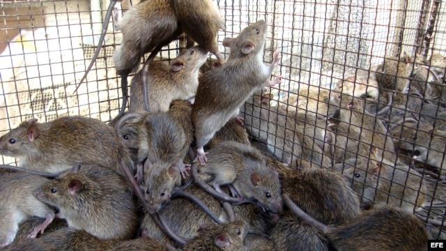 Estas ratas, alojadas en jaulas en Dong Thap (Vietnam), esperan a ser preparadas para ser vendidas a los clientes.