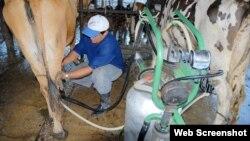 Ordeño y manejo de vacas lecheras en Cuba, 2014