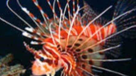 El pez león amenaza en el Caribe.