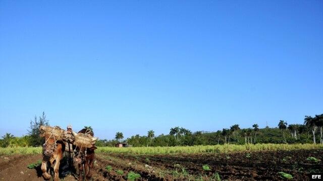 Fotografía de archivo de un campesino arando la tierra con una yunta de bueyes.