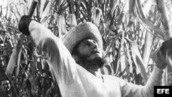 Fidel Castro cortando caña en 1961.