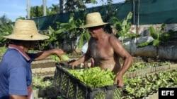 Dos campesinos cubanos trabajan en una parcela donde se siembran diferentes cultivos en canteros, a las afueras de La Habana.