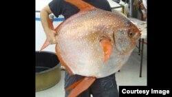 La temperatura caliente del pez le permite nadar más rápido y tener mejor visión en las profundidades del mar.