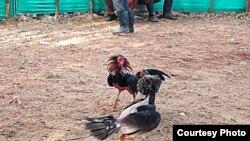 Los gallos se estudian antes de iniciar la pelea.