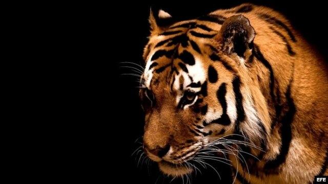 El amor encorva la frente de los tigres. (José Martí)