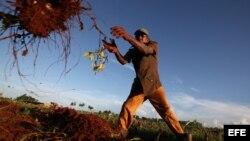 Campesinos trabajan cosechando malangas en la provincia de Artemisa.