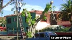 Poda de árboles en Cuba.