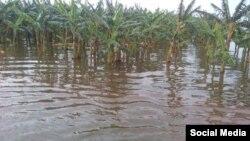 """Cultivos de plátano inundados en Ciego de Avila por las lluvias de """"Alberto"""""""