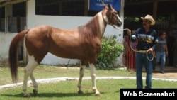 caballos, Cuba