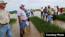 Agricultores inspeccionan un campo de arroz en Arkansas. Foto: uacescomm.