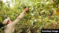 Recogida de guayaba, en plantaciones pertenecientes a la Empresa Agroindustrial Ceballos, Ciego de Avila.