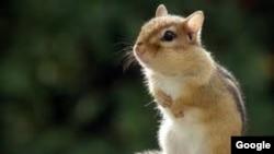 Los roedores tienen más sensibilidad para detectar un sismo inminente.