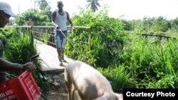 Niní y su cerdo, listo para la monta/ Cortesía Misceláneas de Cuba.