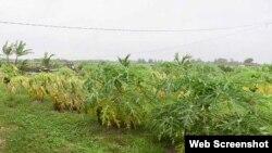 El paso de Alberto por las proximidades de Pinar del Río causo severos daños a la agricultura en la región.