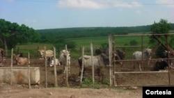 Decrece producción de leche en Cuba
