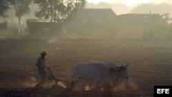 Un campesino trabaja la tierra con una yunta de bueyes en Pinar del Río (Cuba).