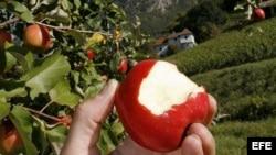 Manzanas modificadas genéticamente.