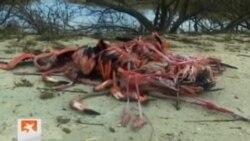 Cientos de flamencos rosados murieron en los Cayos del norte de Cuba