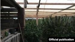 Ocultas bajo un gran toldo, cerca de 300 plantas adultas de marihuana fueron halladas en una casa del condado Pueblo, Colorado