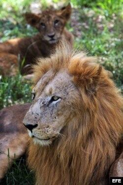 Dos leones descansan bajo la sombra en el Foso de los Leones. Octubre de 2012, en La Habana