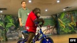 Orangután en Tailandia