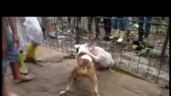 Pelea de perros en Cuba