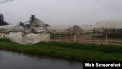 Afectaciones a cosecha tabacalera en Pinar del Río.