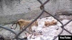 Leones en zoo cubano