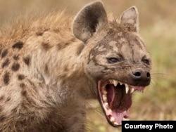 """Zoológico de Manzanillo. """"La hiena estaba tan flaca que parecía un gato""""."""