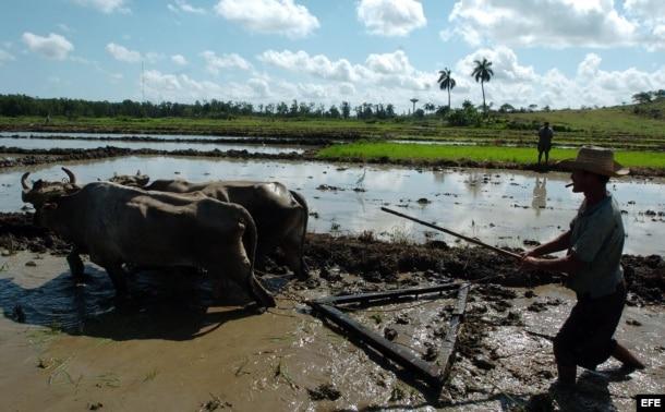 Campesinos cubanos preparan el terreno para la siembra de arroz