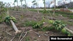 Plantación de fruta bomba en el municipio de Esmeralda, en Camagüey.