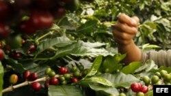 Gobierno cubano decide adelantar zafra cafetalera