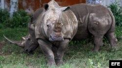 Unos rinocerontes camina por la Pradera Africana del Zoológico Nacional de Cuba hoy,octubre de 2012, en La Habana (Cuba). El Parque Zoológico Nacional de Cuba ampliará y garantizará la continuidad de su colección de animales africanos con un donativo de 2