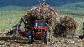 Tractores y alzadoras transportan caña de azucar hacia la industria.