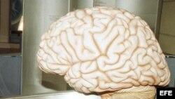 Foto de archivo de un cerebro.